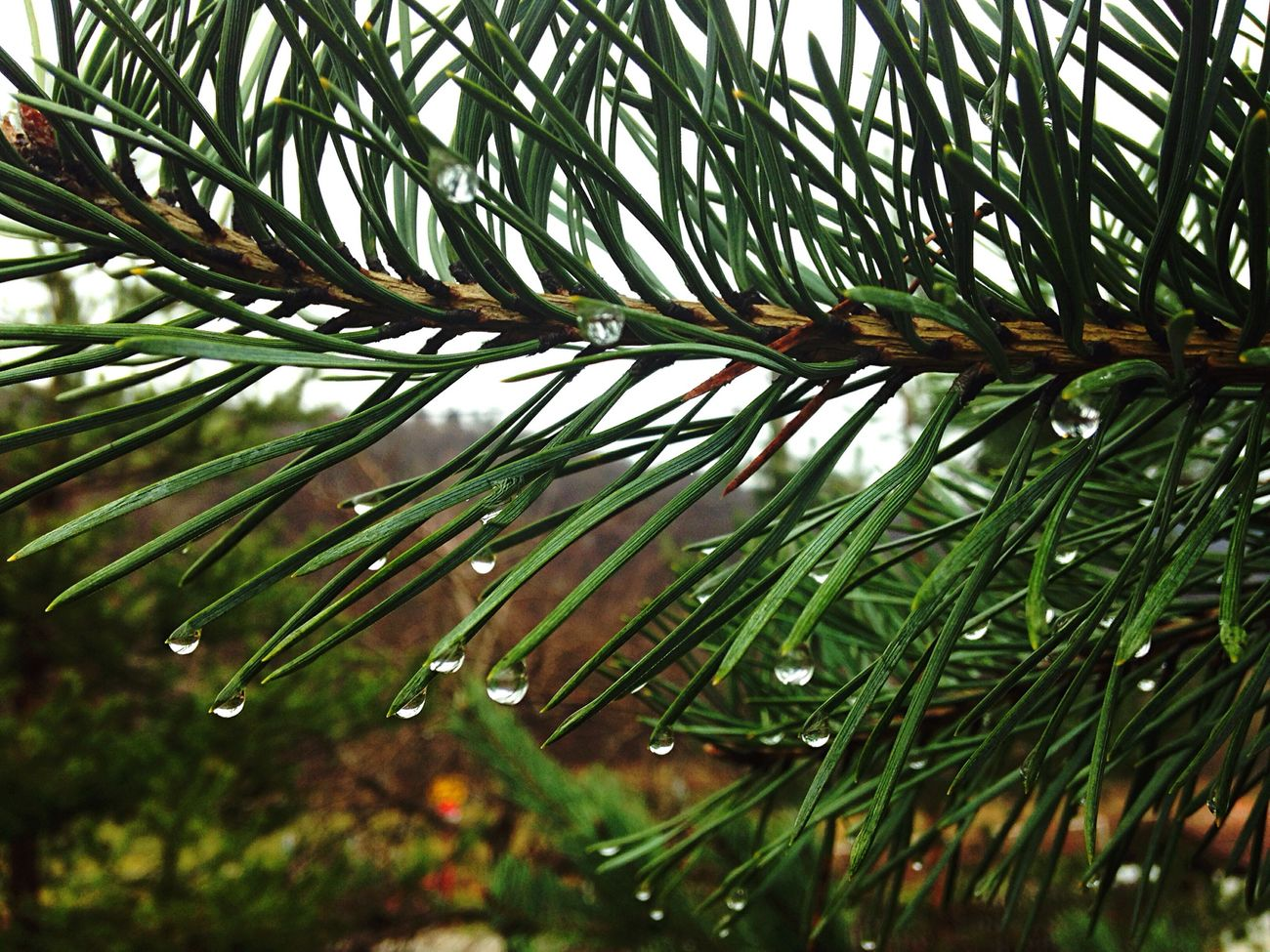 After the rain!🌧🌿😍 Drops Rain Pine Aftertherain Green Water MyPhotography Beautiful 14/100happydays