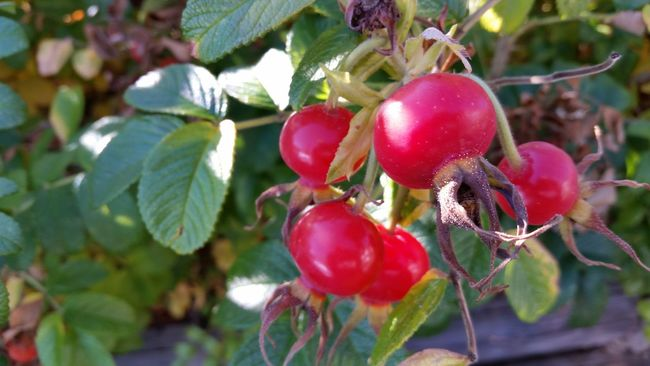 Rosa Rugosa Rose Hips Red Leaf Growth Selective Focus Green Color Outdoors Change Autumn Day Beauty In Nature No People Natural Pattern Nature Vibrant Color Close-up