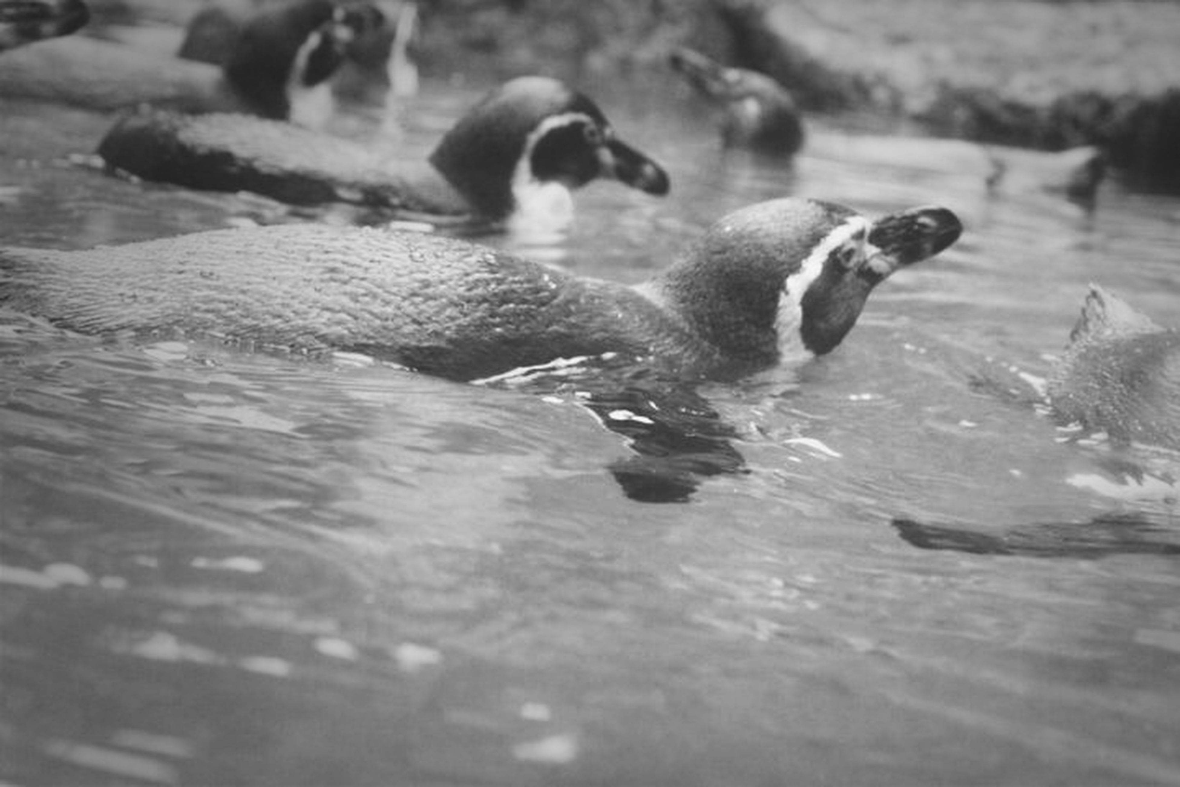 animal themes, water, animals in the wild, wildlife, one animal, bird, swimming, lake, nature, waterfront, high angle view, day, outdoors, selective focus, focus on foreground, river, two animals, reflection, no people, mammal