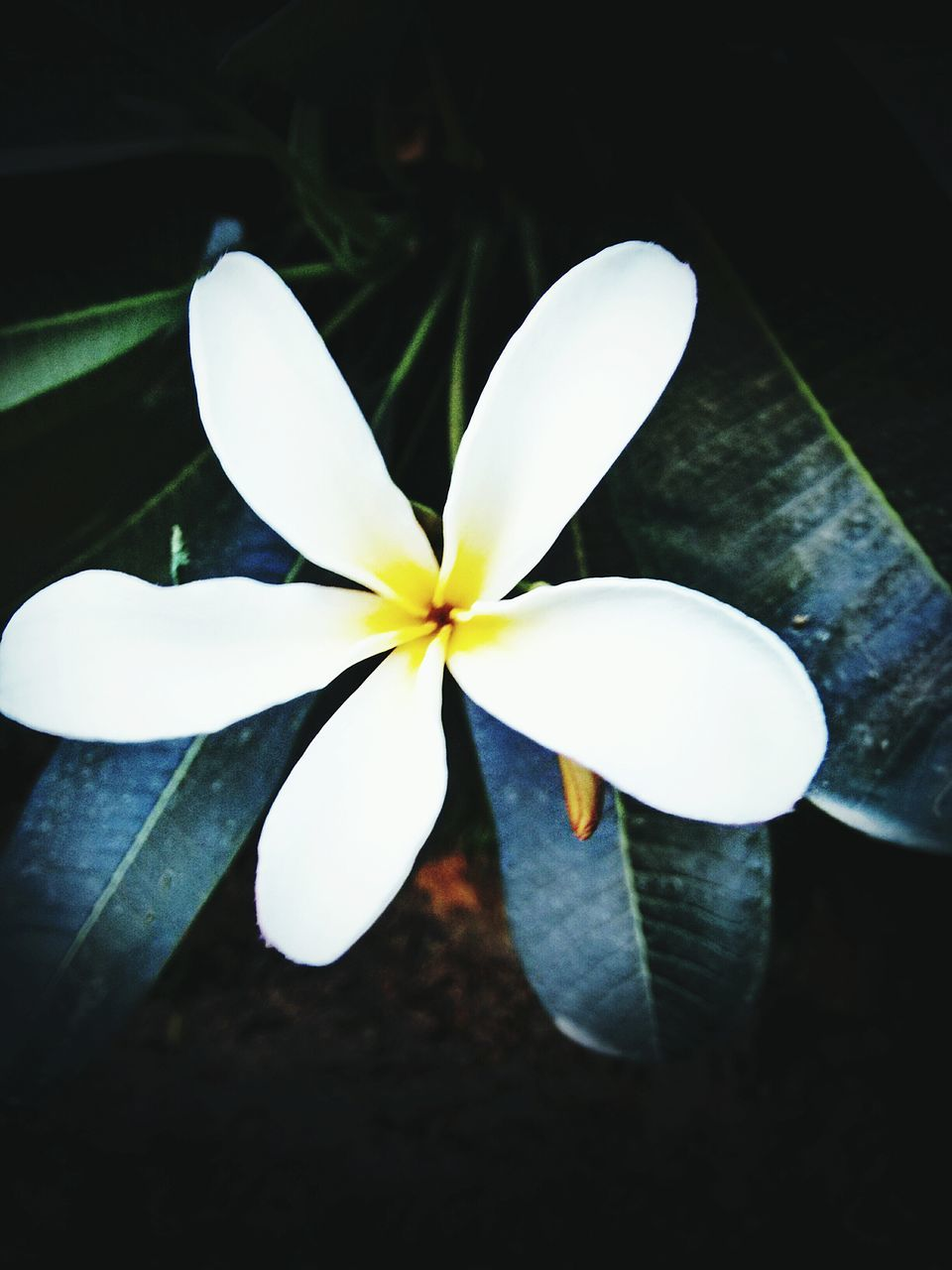 flower, petal, fragility, flower head, frangipani, beauty in nature, white color, close-up, freshness, high angle view, leaf, nature, growth, night, plant, no people, outdoors, periwinkle