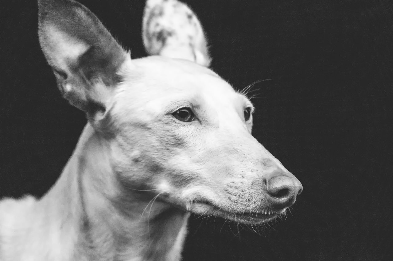 Animal Themes Close-up Day Dog Domestic Animals Ibizan Hound Mammal Nature No People One Animal Outdoors Pets Podenco Ibicenco Spanish