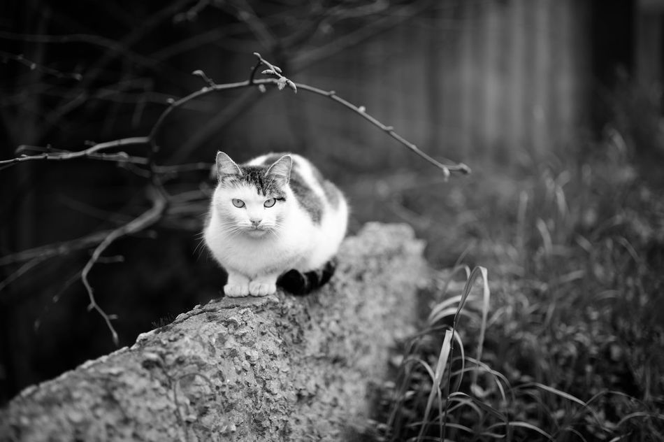 Stray Cat amidst the Rubble Animal Themes Animals In The Wild Black And White Blackandwhite Bokeh Cat Cat Lovers Cats Close-up Feline Focus On Foreground Istanbul Istanbul City Istanbuldayasam Istanbullovers Looking At Camera Monochrome Natanomalous Nature No People One Animal Outdoors Portrait Streetphotography Welcome To Black