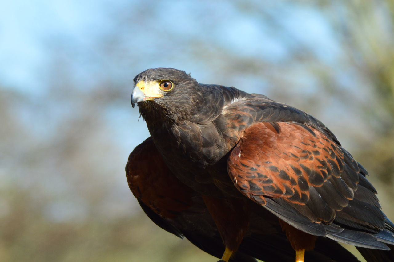 Close-Up Of Harris Hawk In Forest