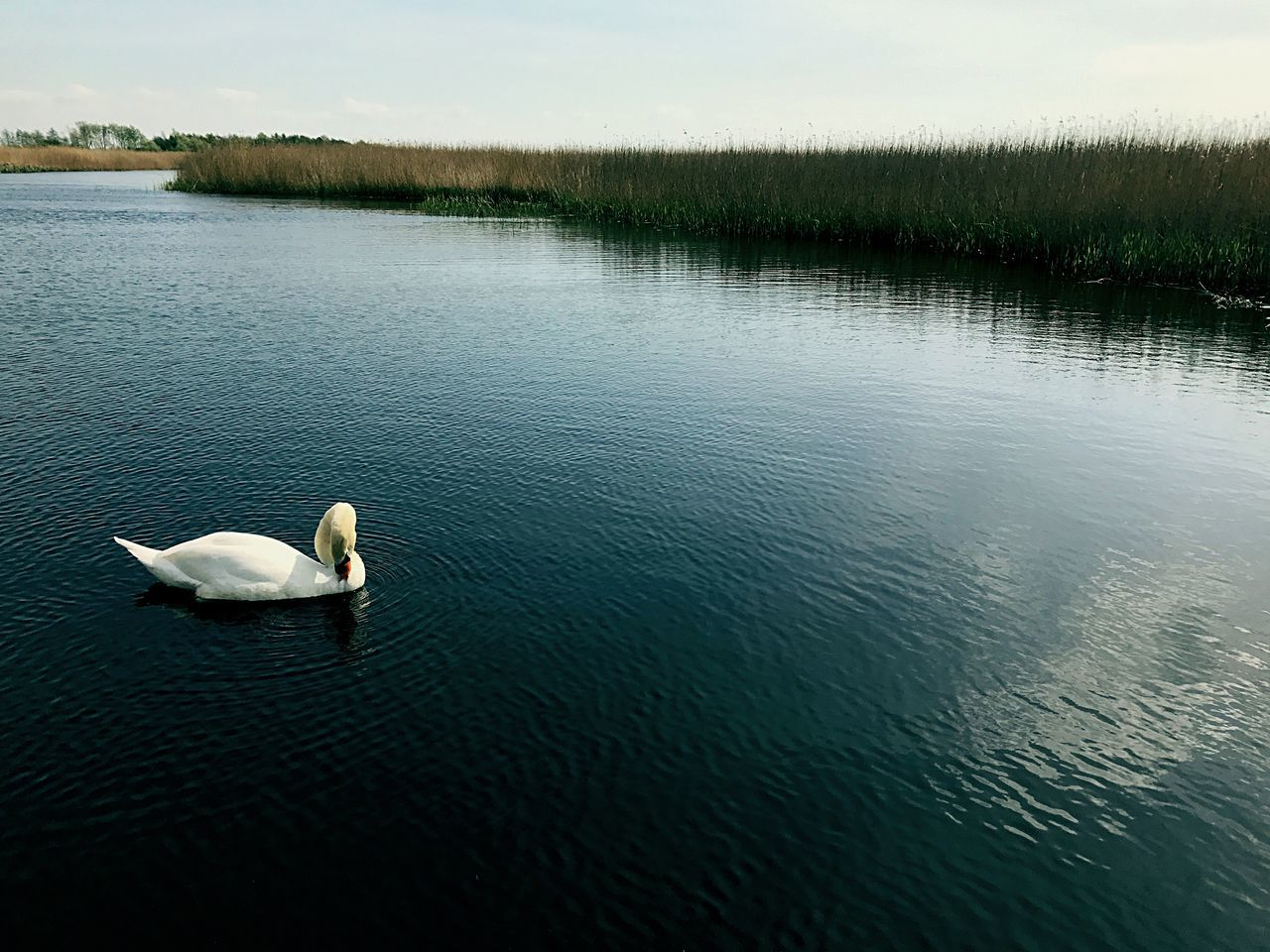 Animal Themes Animals In The Wild Swimming Water Lake Bird Swan Nature Water Bird One Animal Waterfront Outdoors White Swan No People Beauty In Nature Floating On Water Day The Secret Spaces Long Goodbye EyeEmNewHere