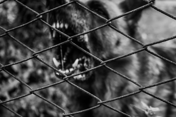 Angry B&w Blackandwhite Blackandwhite Photography Danger Do Not Cross Ferocity Focus On Foreground Protection Security My Year My View