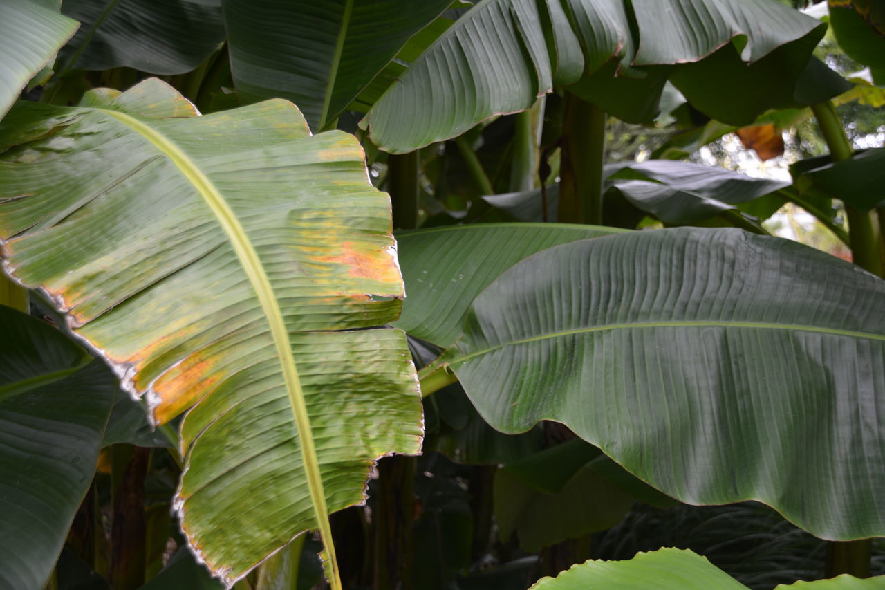 leaf, green color, banana leaf, banana tree, growth, nature, outdoors, day, beauty in nature, plant, no people, water, close-up, freshness