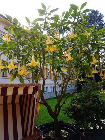 Tree House Growth Building Exterior Architecture Outdoors No People Day Nature Sky Built Structure Engelstrompete Plant Yellow Angel Trumpet