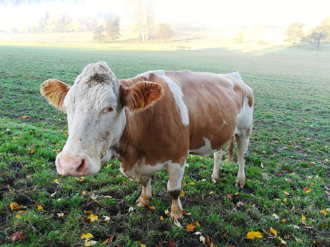 Domestic Animals One Animal Animal Themes Livestock Field Agriculture Mammal No People Grass Day Rural Scene Outdoors Nature Cows Foggy Morning Foggy Day Foggy Weather Foggy Sunrise Silberbach Silberbachtal No Filters Or Effects Velmerstot Tranquility Autumn Bullseye