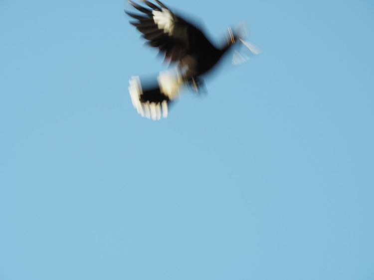 motion captured magpie flys Magpie Bird MotionCapture Bird Blue Blue Sky Blurred Motion Clear Sky Flapping