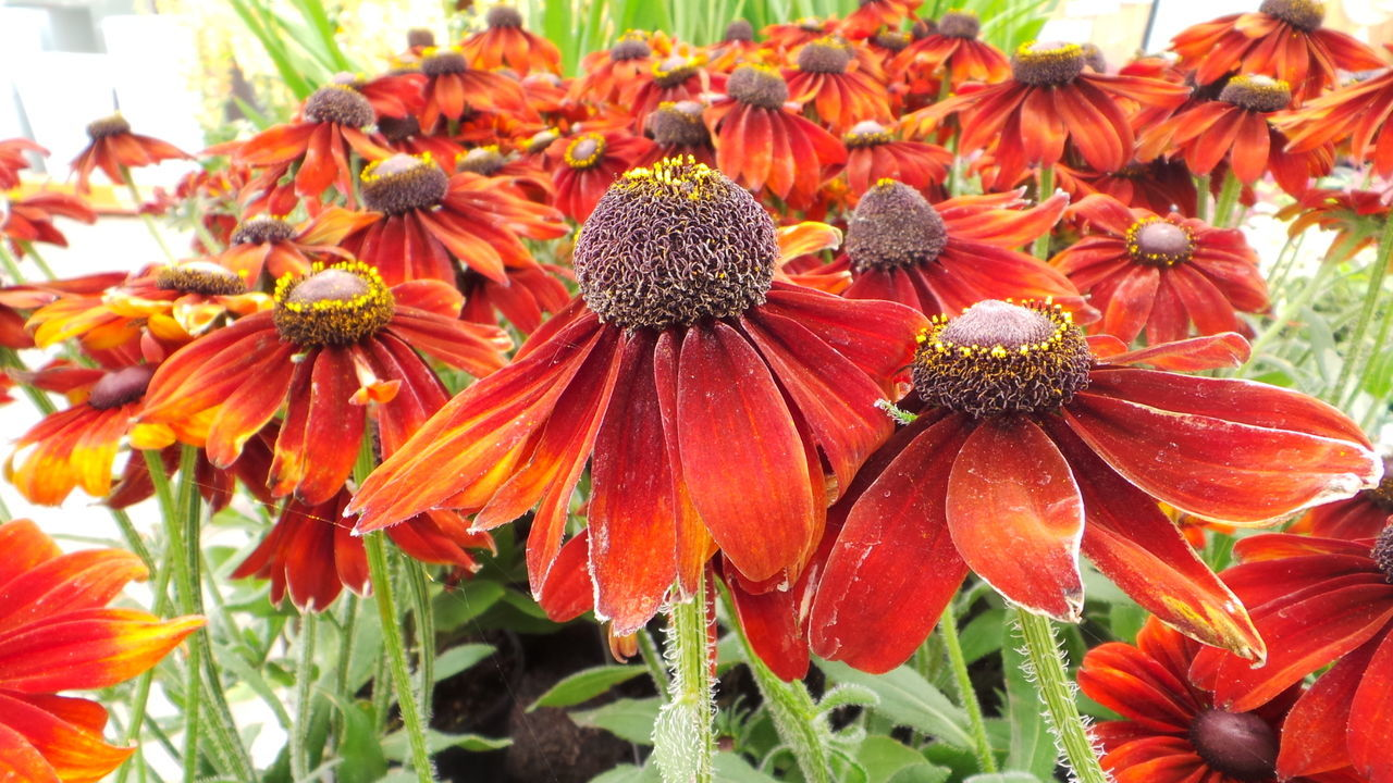 flower, growth, fragility, petal, nature, beauty in nature, freshness, flower head, plant, orange color, day, blooming, pollen, outdoors, coneflower, no people, park - man made space, close-up, eastern purple coneflower, black-eyed susan
