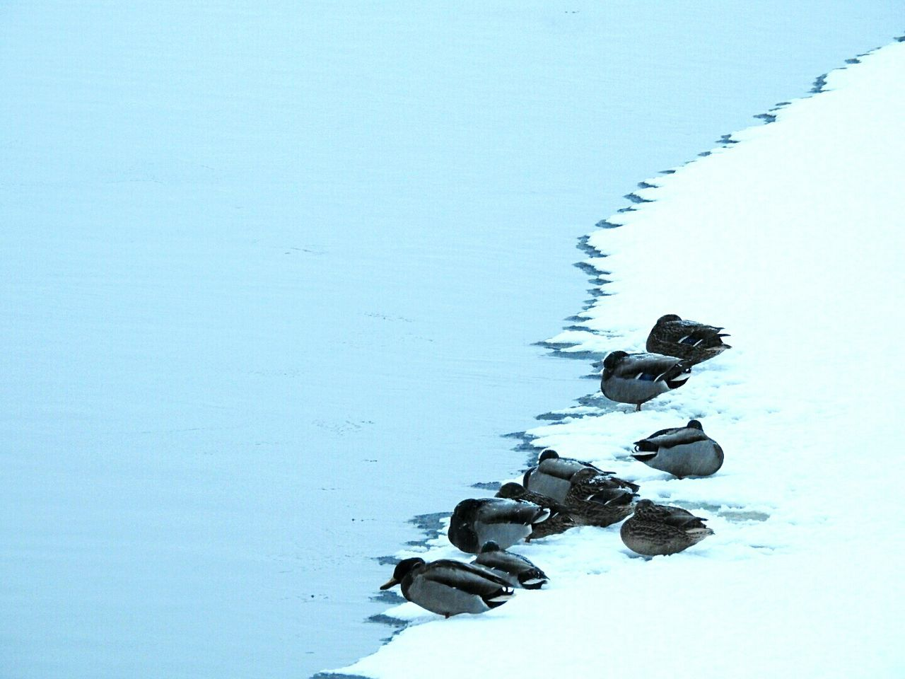 Winter Nature Snow Cold Temperature Lake No People Water Extreme Weather Beauty In Nature Togetherness Day Landscape Ducks On Ice Exploring Style Snow❄⛄ Elagin Island Park Bird Winter Colors Of Sankt-Peterburg Sankt-Petersburg Russia