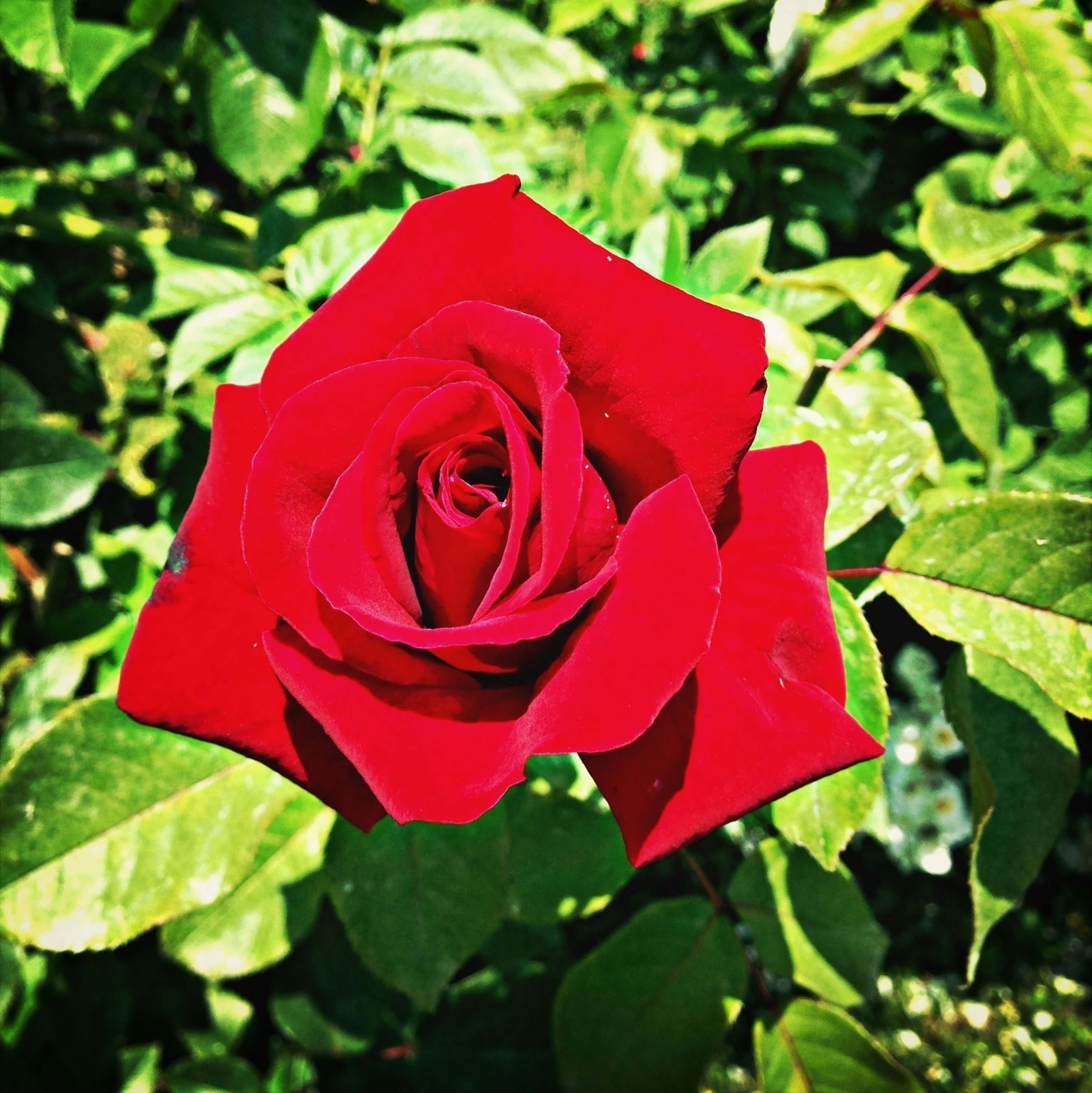 flower, petal, red, flower head, freshness, fragility, growth, beauty in nature, single flower, leaf, rose - flower, close-up, blooming, nature, focus on foreground, plant, rose, in bloom, park - man made space, day