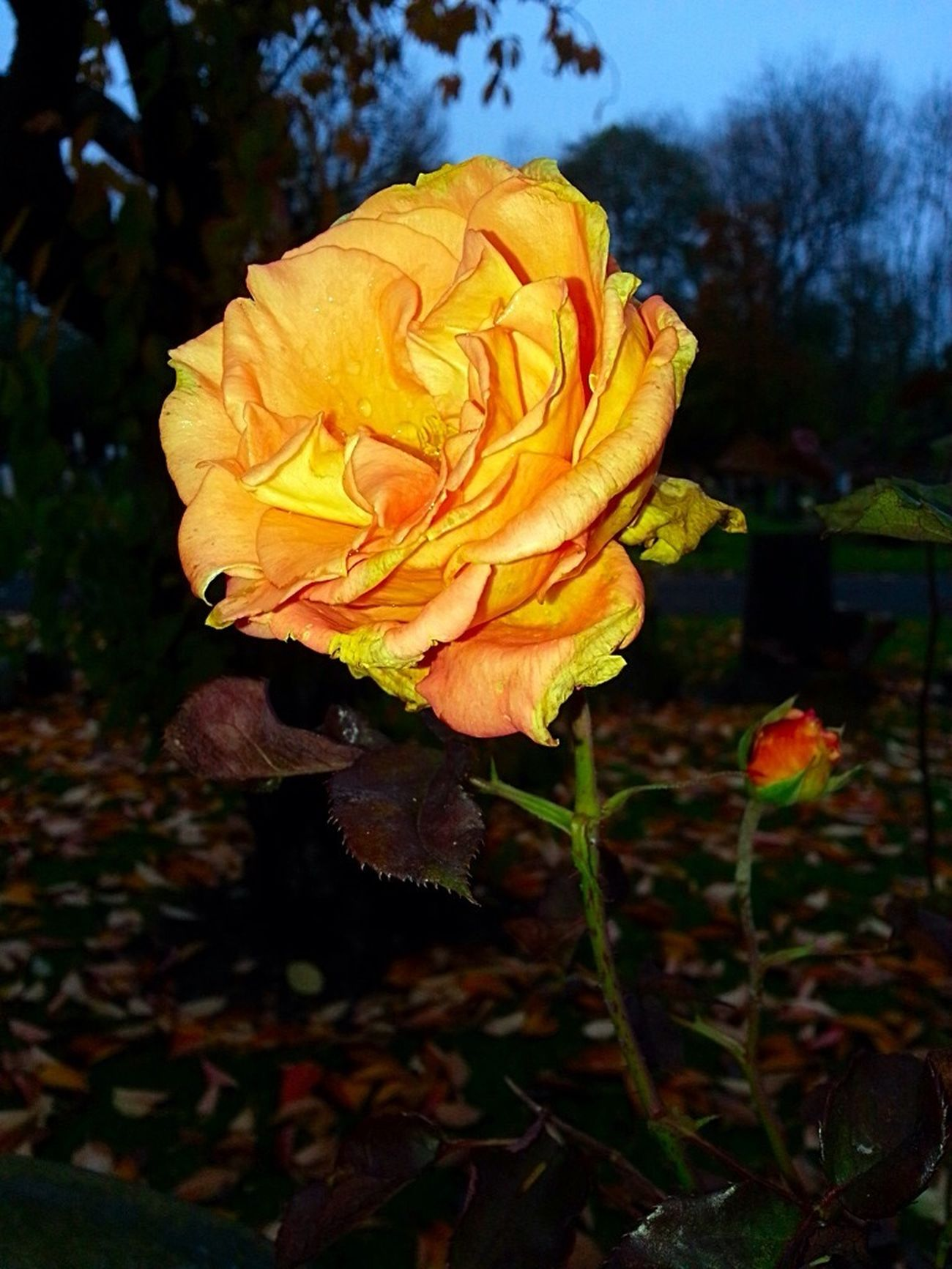Rose - Flower Colours Of Autumn Orange Fall Beauty Fragility