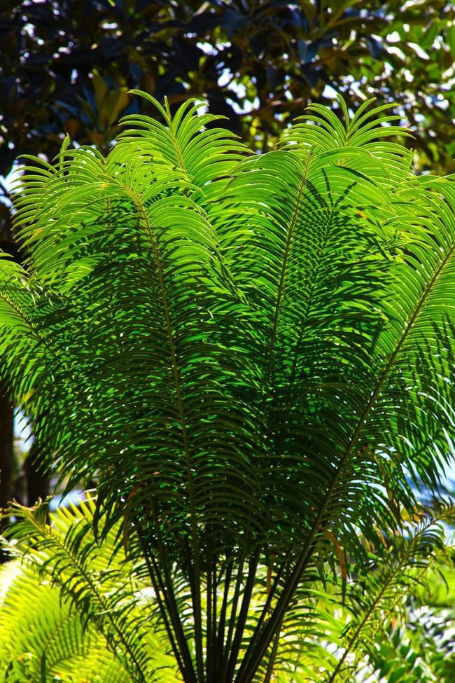 Fern leaves, illuminated by the sun. Plant Backgrounds Nature_collection Nature Young Leaves Springtime Spring Fern Illuminated Sunny Sunny Day Leaves Nature's Diversities