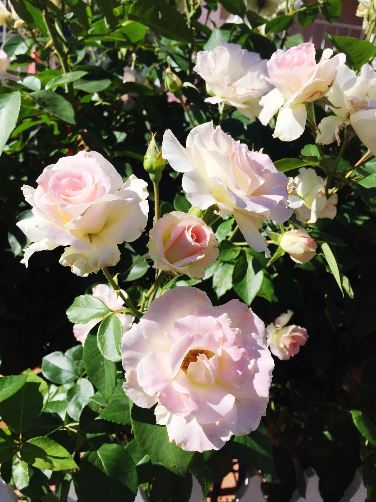 Australia Streetphotography Flowers Flower Collection Blooming Flowers, Nature And Beauty Beauty Pink Color Roses Pinkrose Pink Flower Graceful Rose Collection