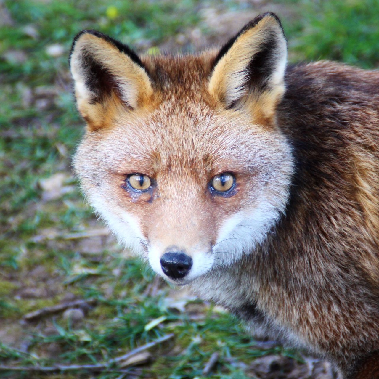Beautiful stock photos of fox, Alertness, Animal Themes, Animals In The Wild, Close-Up