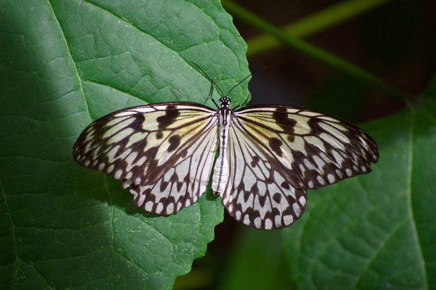 Animal Markings Animal Themes Animal Wing Animals In The Wild Beauty In Nature Butterfly Butterfly - Insect Close-up Day Green Color Insect Leaf Nature No People One Animal Outdoors Plant