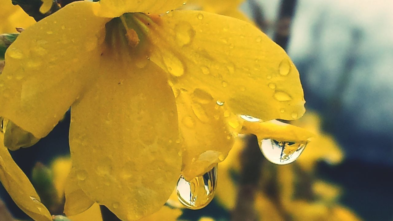 Yellow Drop Close-up No People Freshness Fragility Bewatermyfriend Nature Outdoors Beautifulflowerseveryday Backgrounds Loveflowers Spring Prettyflowers Prettyflower Petal Nature Beginnings Raindropsonflowers Raindrops In The Light Raining Day Rainy Day Photography Raindrops Flowers Of EyeEm EyeEm Dropmaster