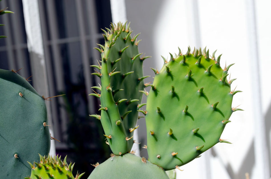 El cactus y otras flores Abril 2017 2017 Beauty In Nature Cactus Close-up Day Enjoying Life Focus On Foreground Freshness Green Color Growing Growth Nature No People Outdoors Plant Prickly Pear Cactus Saguaro Cactus Spiked Thorn Zaragoza