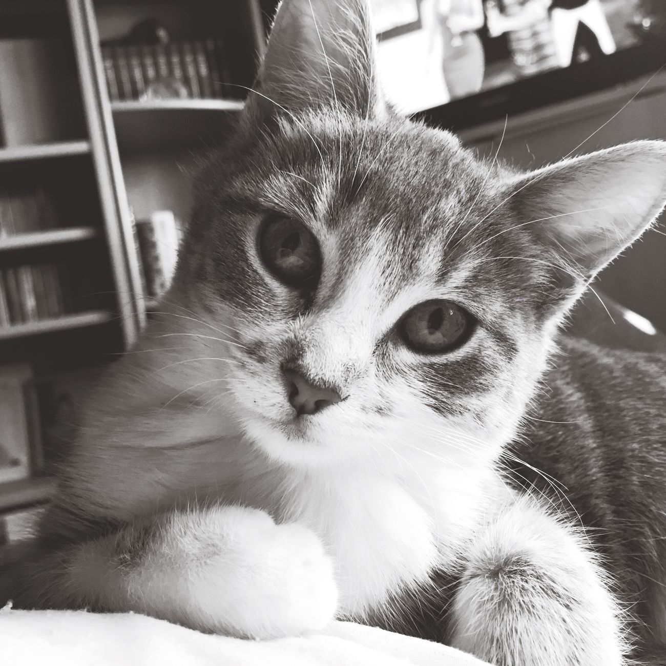 Babycat Chat Animal Domestic Cat Pets Domestic Animals Animal Themes One Animal Cat Cats Cute Animals Cats Of EyeEm Cute Pets Mycat Chaton Baby Love Cute Cats Blackandwhite