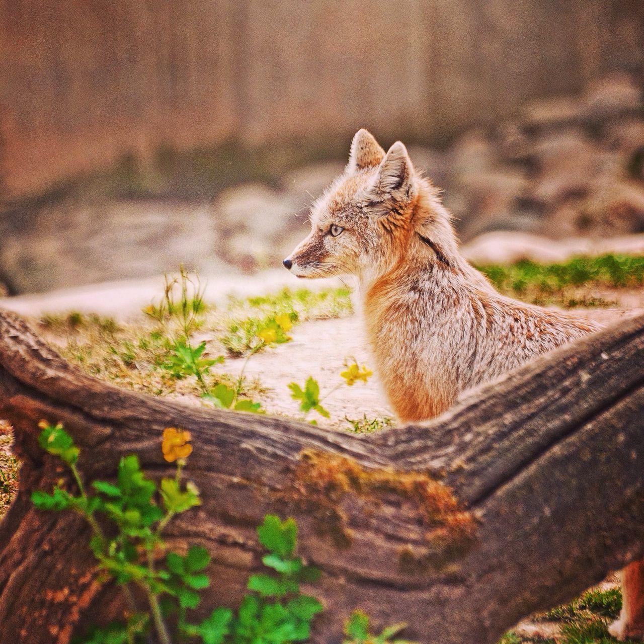 Desert Fox Animals Nature Zoo