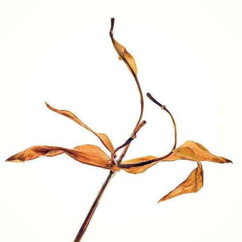 Remnant of a lily. Aging Wrinkled Beauty Studio Shot Fragility Close-up Flower Nature Cut-out Plant Botany Twig Change Wilted Plant Wilted Flower White White Background Orange Yellow Aged Dried Flowers Dried The Innovator Fine Art Photography