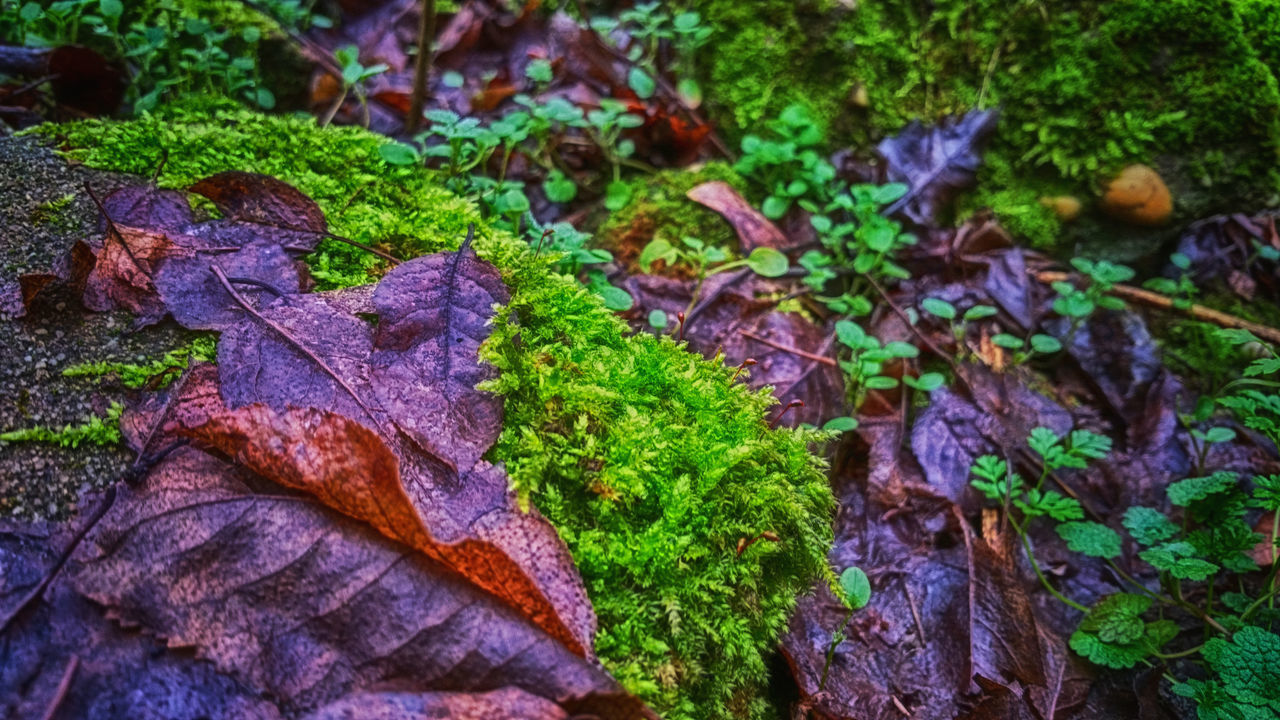leaf, nature, autumn, moss, change, beauty in nature, outdoors, no people, day, close-up, fragility, freshness