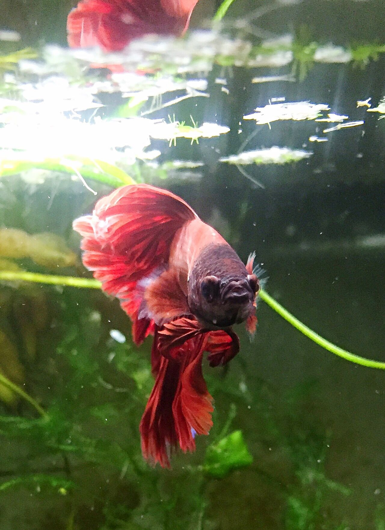 Red Colorful Siamese Fighting Fish Bettafishcommunity Betta Lovers Fish Betta  Betta Fish Beautiful
