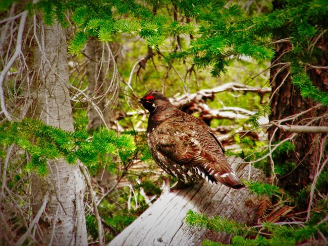 Animal Themes Animals In The Wild Beauty In Nature Bird Chicken Day EyeEm Nature Lover Forest Full Length Godscreation Grass Grouse Growth High Angle View Mylife Nature No People One Animal Outdoors Perching Plant Tranquility Tree Wildlife Wood - Material