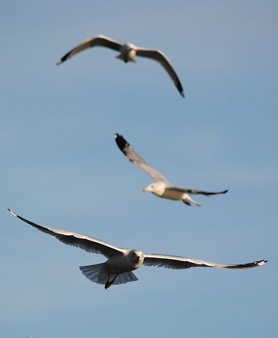Animal Behavior Animal Themes Animal Wing Animals In The Wild Beauty In Nature Bird Blue Clear Sky Flight Flying Focus On Foreground Full Length Low Angle View Mid-air Migrating Motion Nature Seagull Spread Wings Togetherness Tranquility Wildlife Zoology