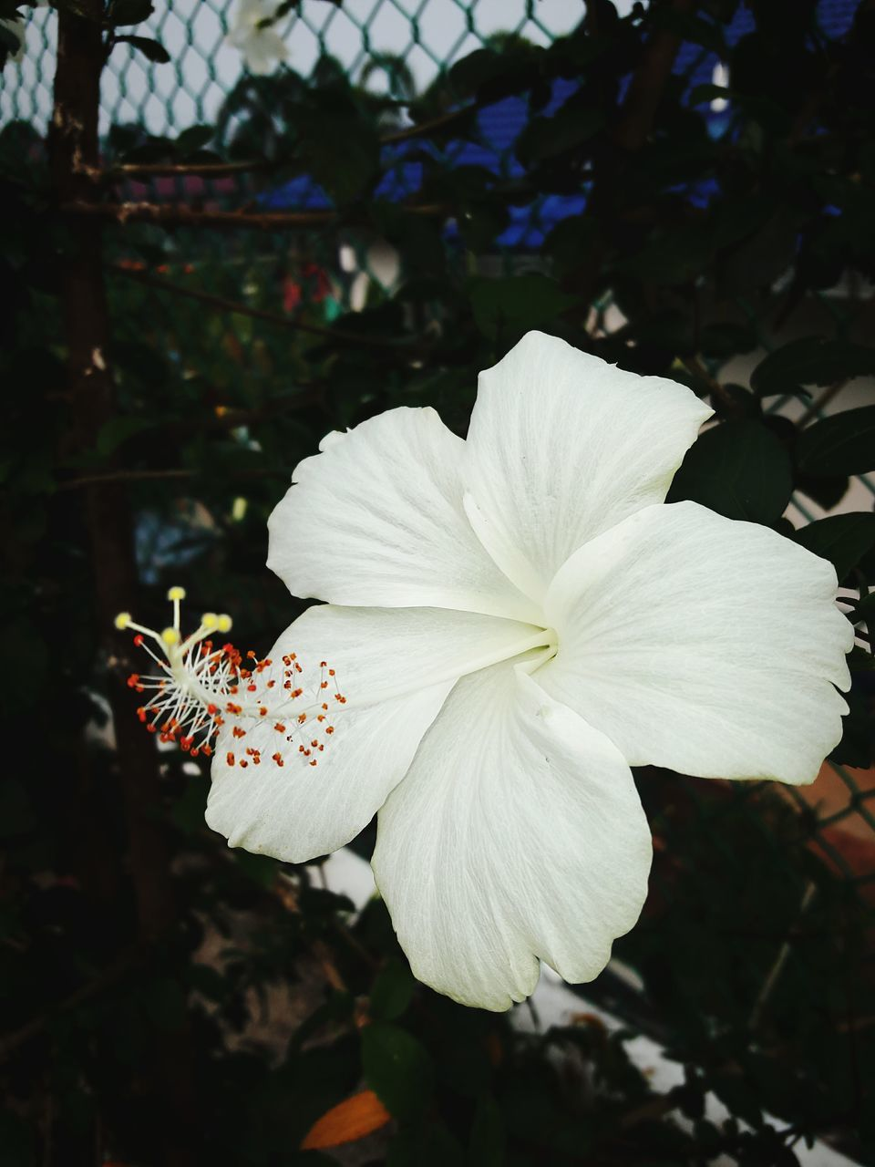 petal, flower, beauty in nature, fragility, flower head, growth, nature, white color, freshness, close-up, focus on foreground, outdoors, plant, day, blooming, no people