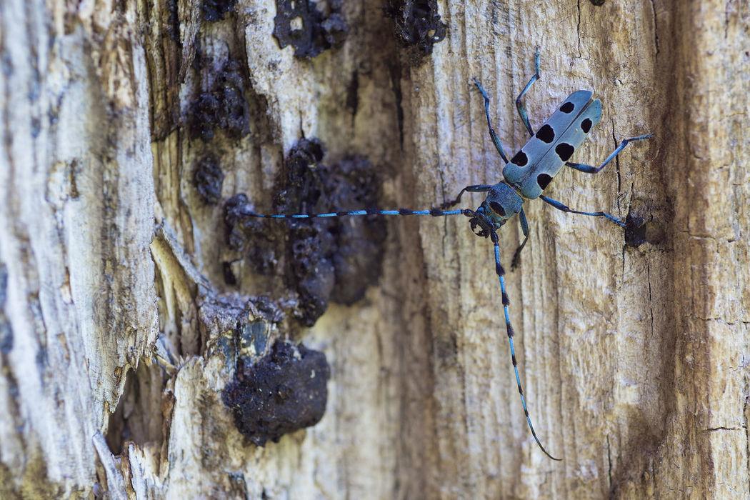 Alpina Antennae Beetle Blue Bug Bugs Insect Insect Photography Longicorn Rosália Wilderness Wildlife Wildlife & Nature
