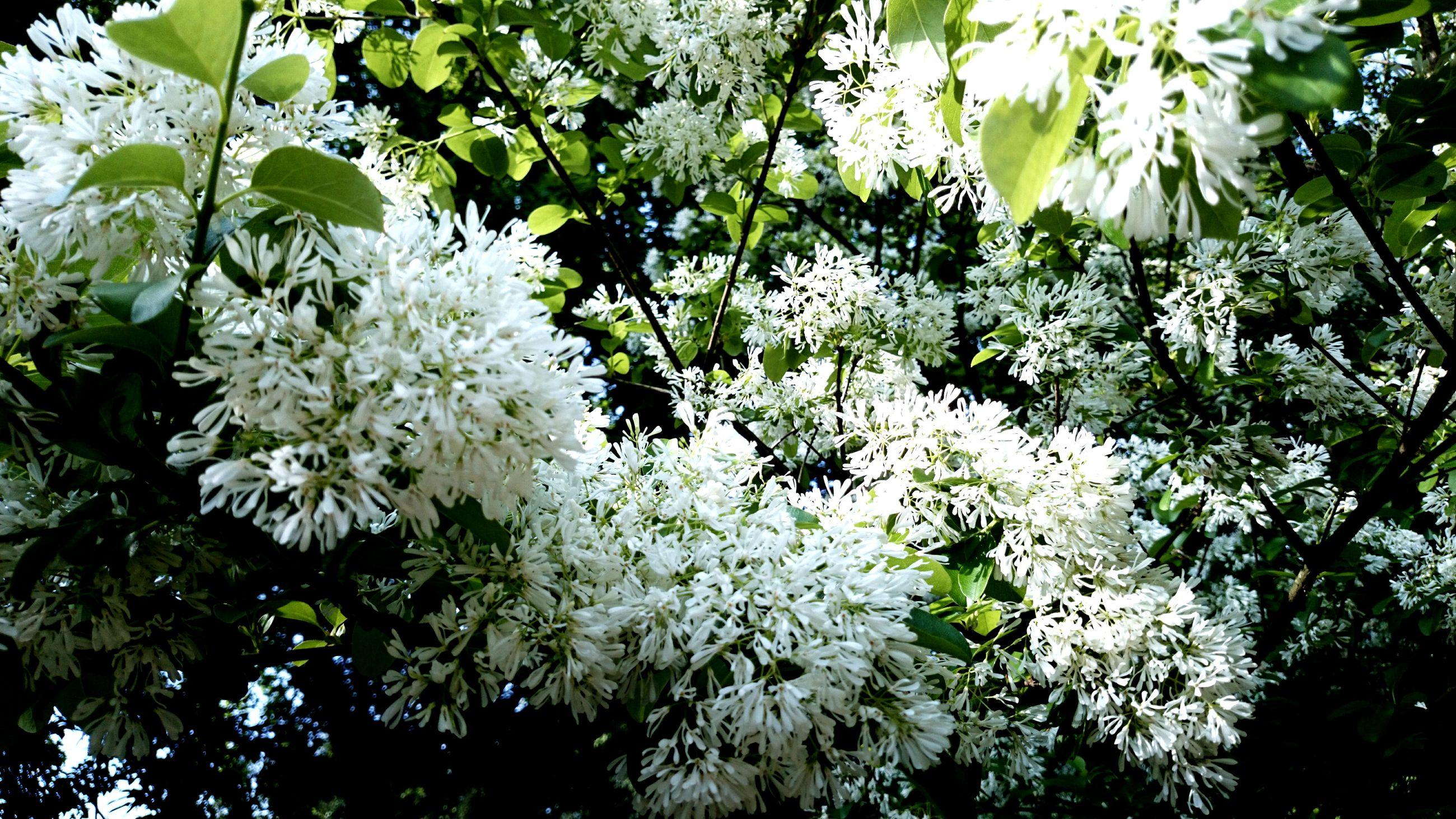 如下雪般 …白了滿樹的春天 。。。