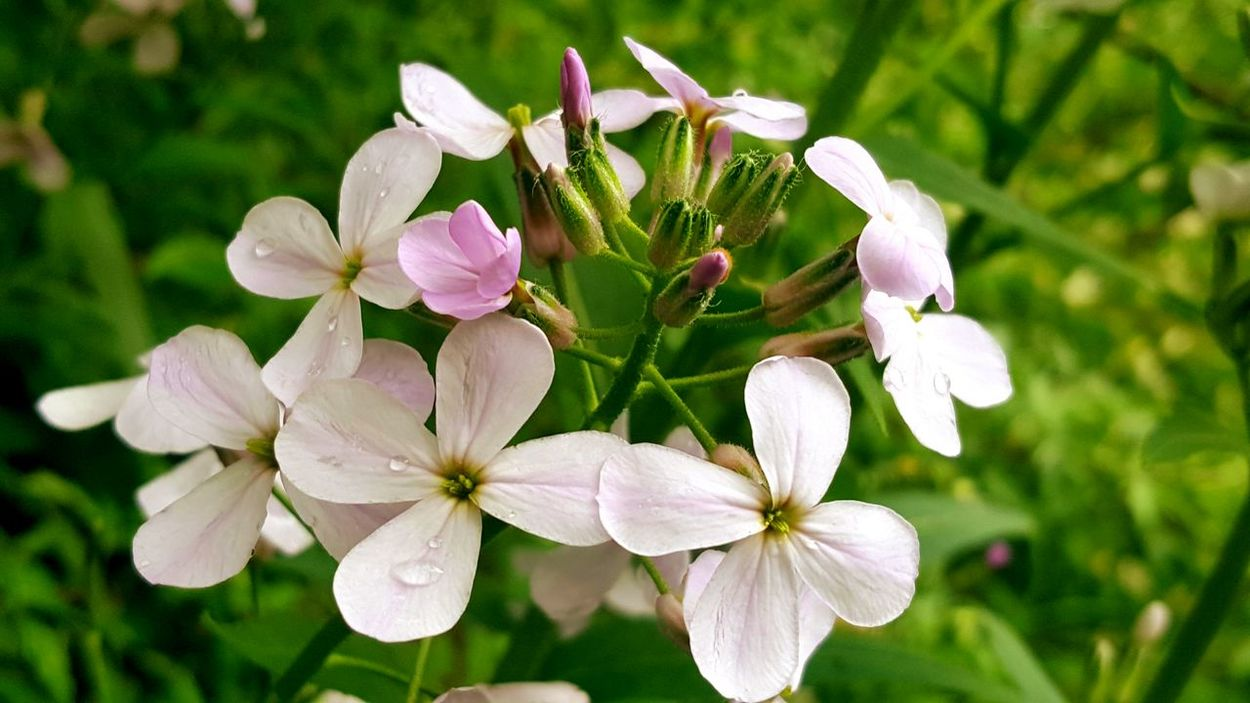 Phlox Flower Nature Pink Color Flower Head Beauty In Nature Outdoors Close-up Springtime Growth Garden Photography EyeEm Flower Collection EyeEm Nature Lover Eyem Gallery Photography