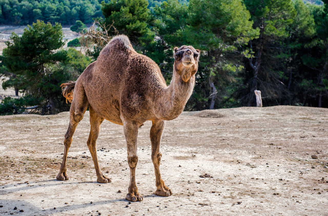 Camel outdoors Animal Animal Themes Beauty In Nature Brown Camel Day Domesticated Full Length Hump Landscape Mammal Nature Nature No People One Animal Outdoors Safari Animals Safari Park SPAIN Standing Sunny Tree Trees Tropical Climate Zoo