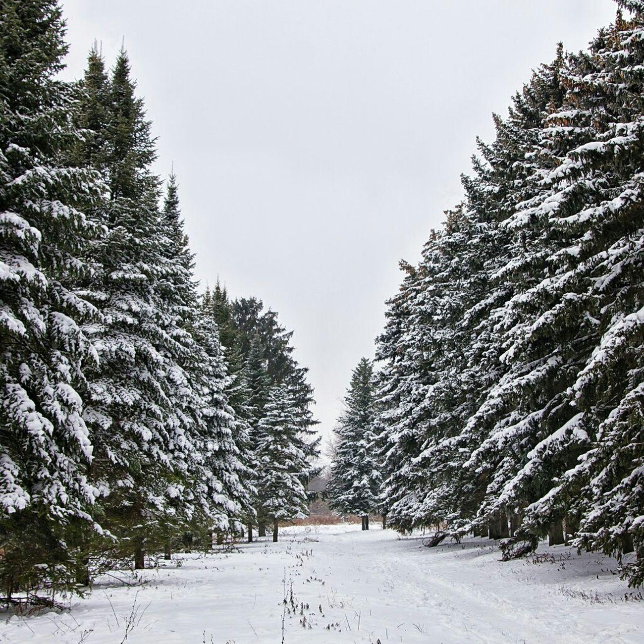 парк Природа прогулка зима сосны снег Nature Winter январь Харьков