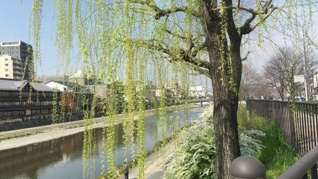 Kyoto City Kyoto,japan Kyoto Spling April In Kyoto Willow Japanese Willow Kamogawa River Japanese Bridge Kyoto Bridge Verdure Spling Kyoto City