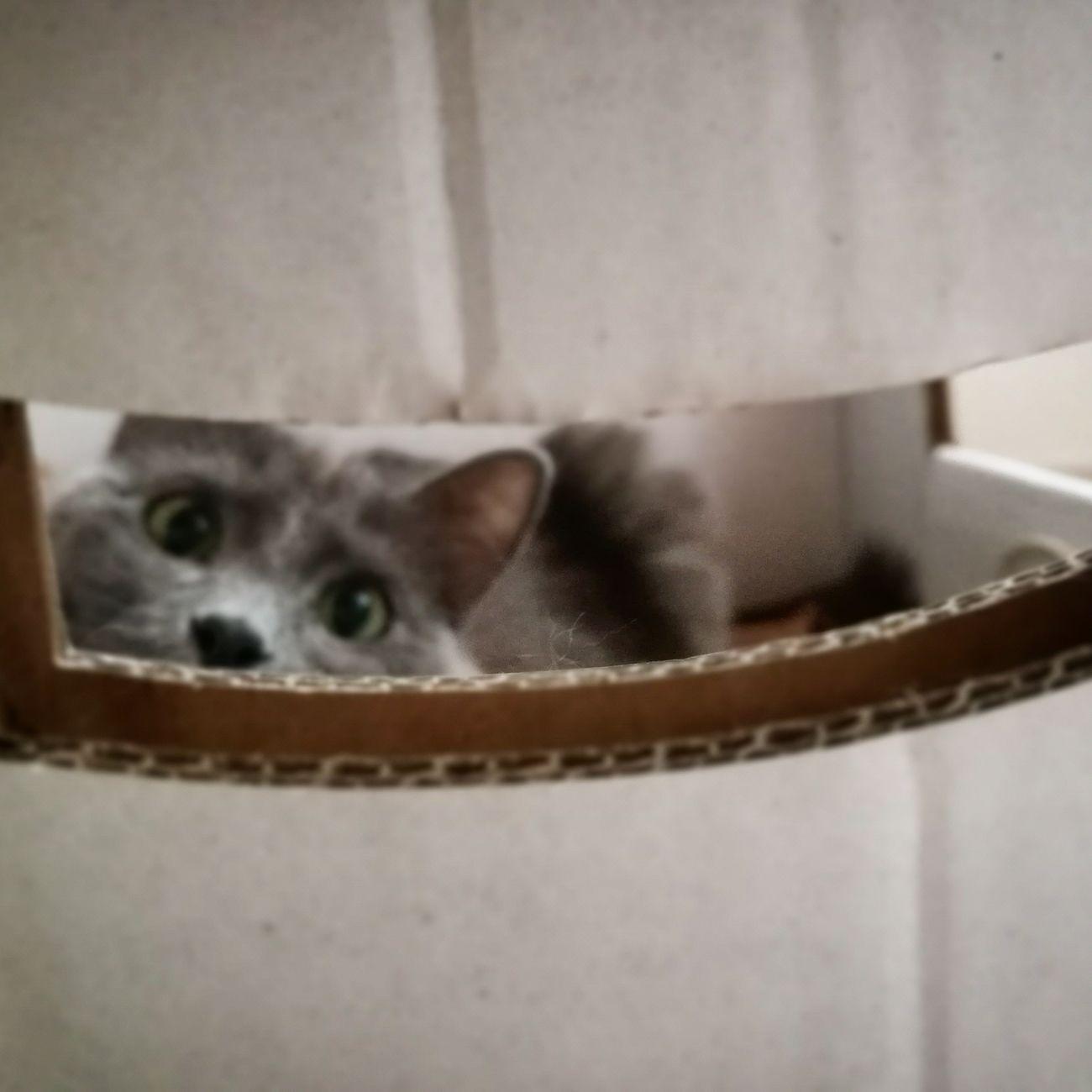 Milu Cat One Animal Pets Indoors  Animal Themes Domestic Animals Girl Gato Cats Babycat Greycat No People Mammal Day
