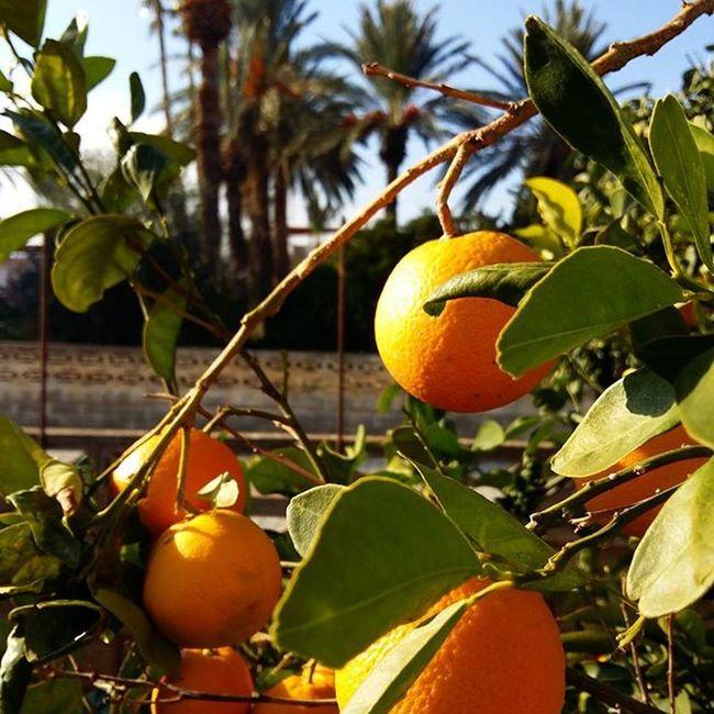 Mersin Tasucu Portakalağacı Dalından Portakal Hurmaağaçları Kışgüneşi Mavigökyüzü
