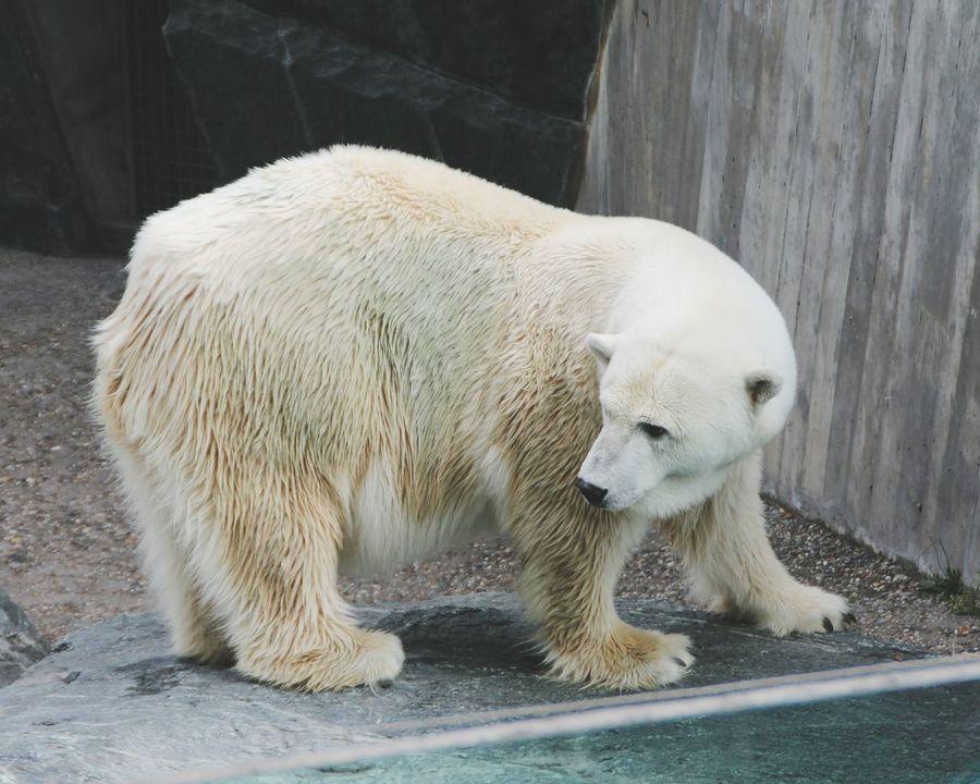 🐶 Polar Bear Nature EyeEm Best Shots EyeEm Best Shots - Nature Naturelovers Passion Amazing Beautiful Portrait Beauty
