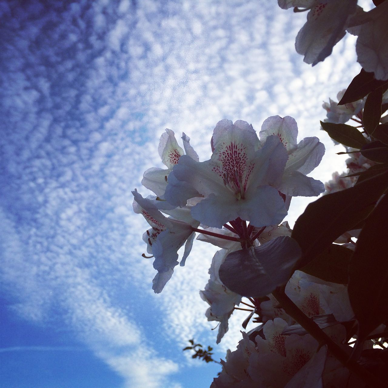 Low Angle View Of White Flowers Growing Against Cloudy Sky
