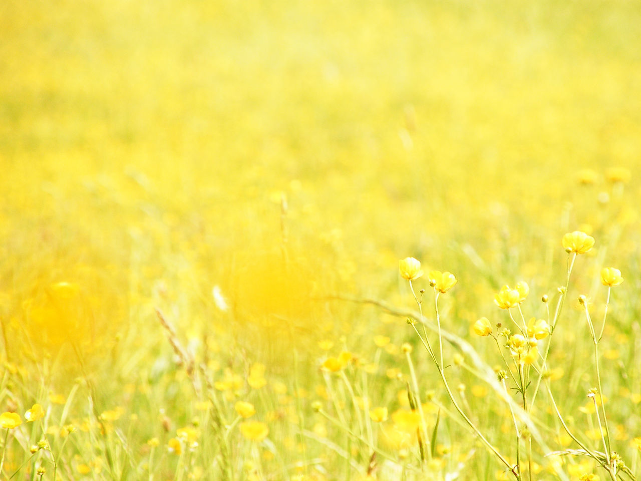 Agriculture Beauty In Nature Close-up Crop  Day Field Flower Fragility Freshness Grass Growth Meadow Nature No People Outdoors Plant Rural Scene Selective Focus Tranquility Wheat Yellow