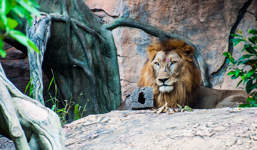 The male lion is full of face traces, resting on the rocks. Animal Themes Animal Wildlife Animals In The Wild Calm Day Face Fighting Traces Leaf Lion - Feline Male Mammal Mature Nature No People Outdoors Rest Rock - Object Scar Tree Wildlife