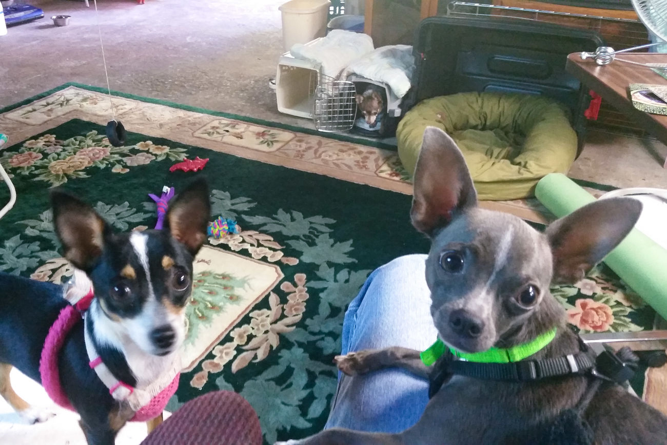 Furry family photo. Chihuahuas Of Eyeem Dog My Heart ❤ Not A Care In The World Spoiled Dog Chihuahualife My Dogs Are Cooler Than Your Kids Live Oak Animal Hospital Dog's Life Rescued ❤ Kilo Dog Named Kat Cu-Jose Chihuahua Puppy Odie Rat Terrier