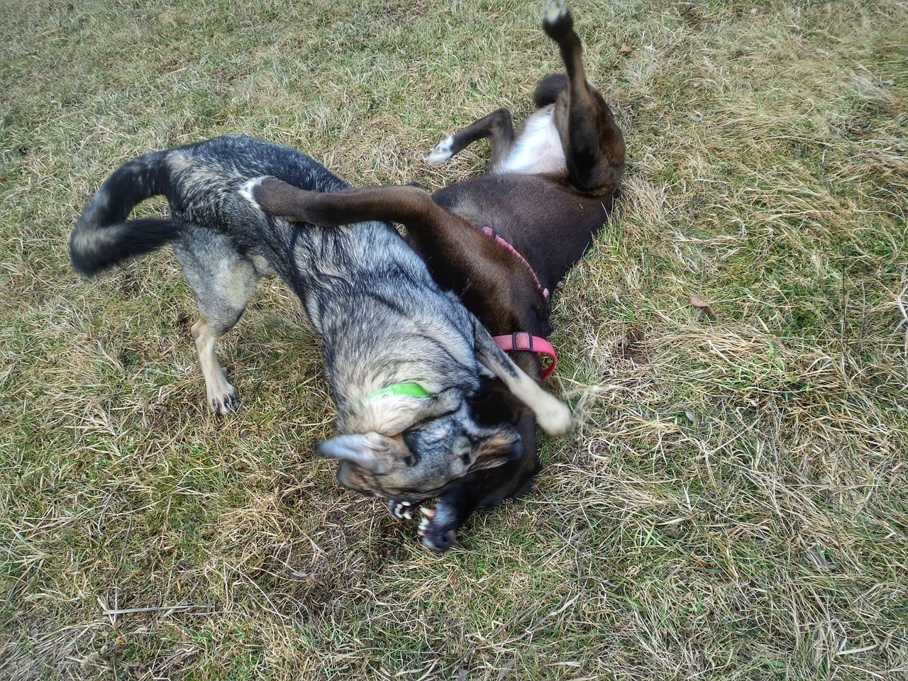 Looking Dangerously Two Playing Dogs Animal Friendship Dogs Of EyeEm Animal Themes Dogs Domestic Animals Pets Outdoors No People Nature High Angle View Day Germany🇩🇪 she likes it the hard way 😉 Best Friends Wrestling Match