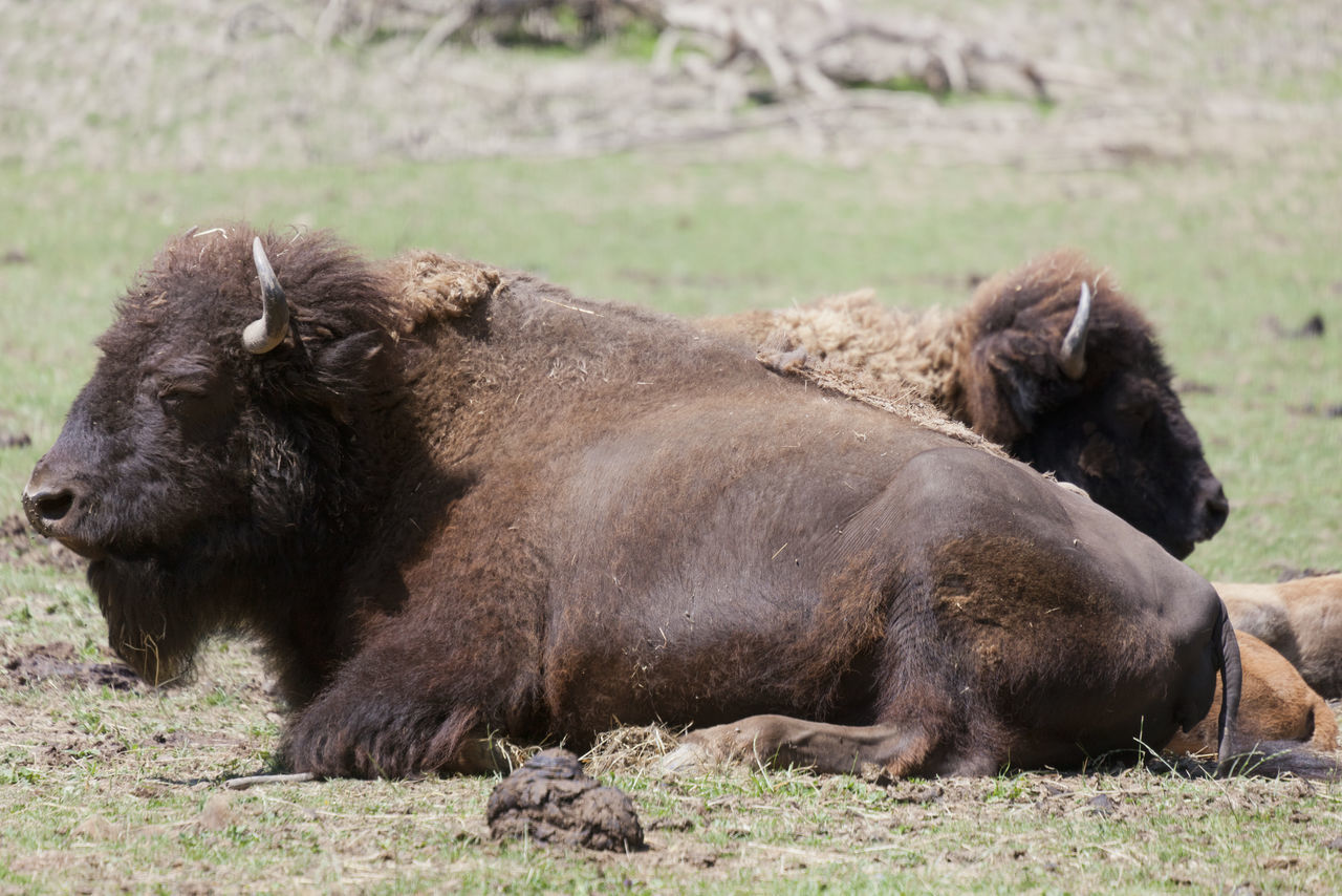 American buffalos on meadow - Bison bison American Buffalo Animal Animal Themes Animal Wildlife Animals In The Wild Beef Bison Bison Bison Buffalo Canada Cow Full Length Grass Livestock Mammal Nature No People Outdoors Prairie Relaxation Rural Scene Strength Two Animals Wild Wildlife