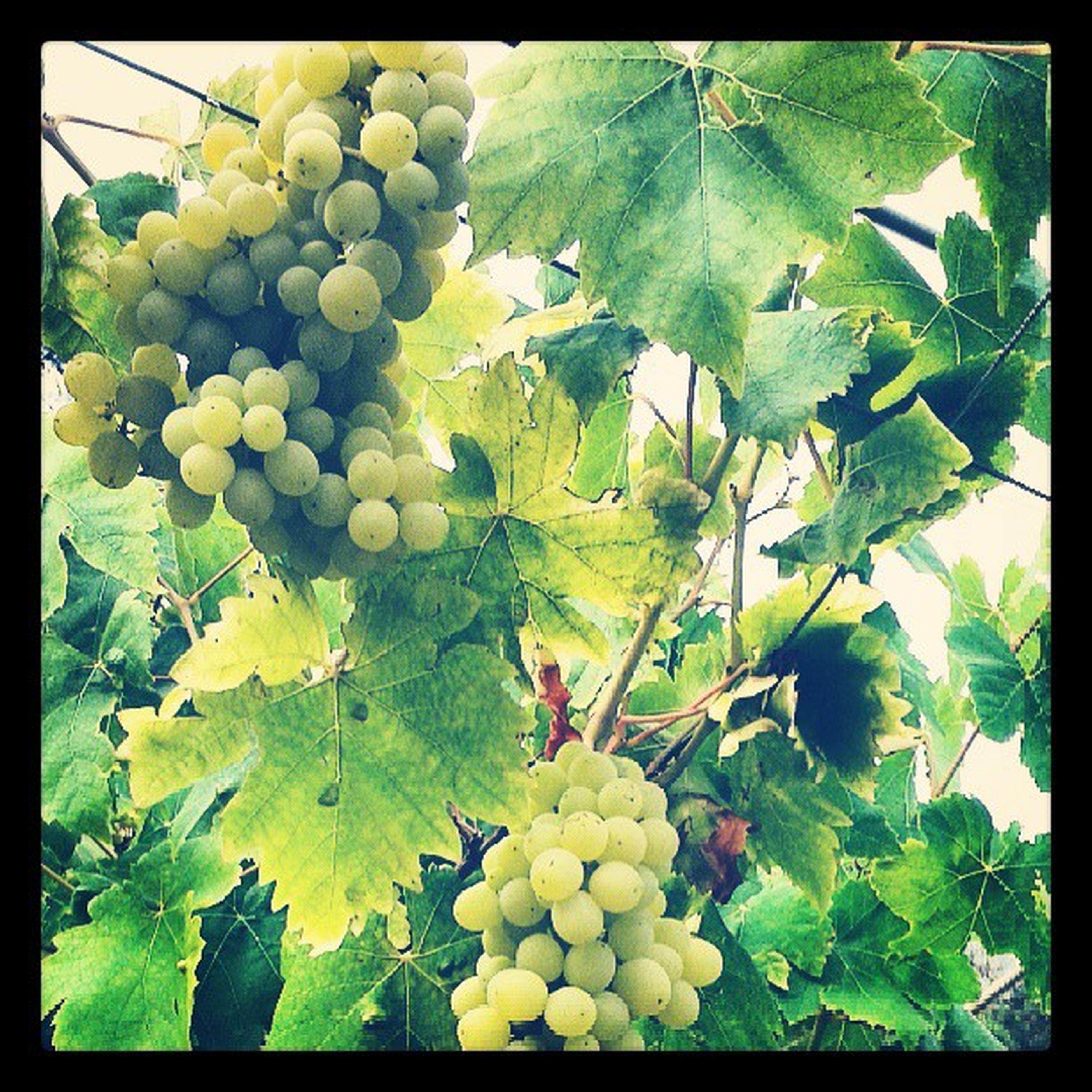 Grapes Deirelkamar Jnayne Beautiful yum