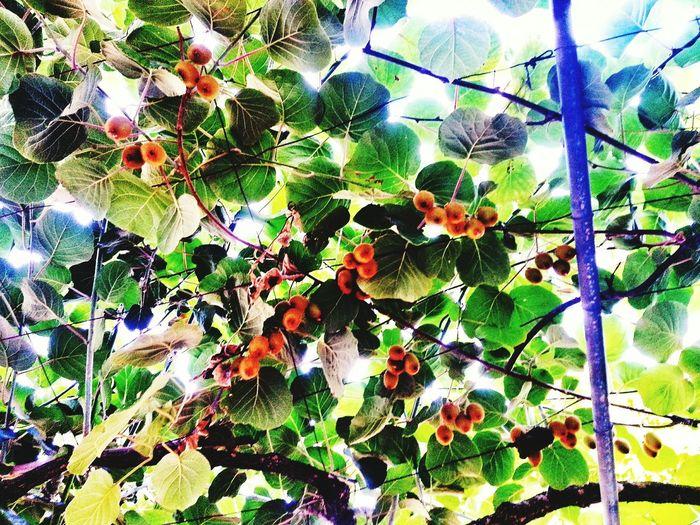 Kivi Yeşil Ağaç Mutluluk 💕💕💕💕