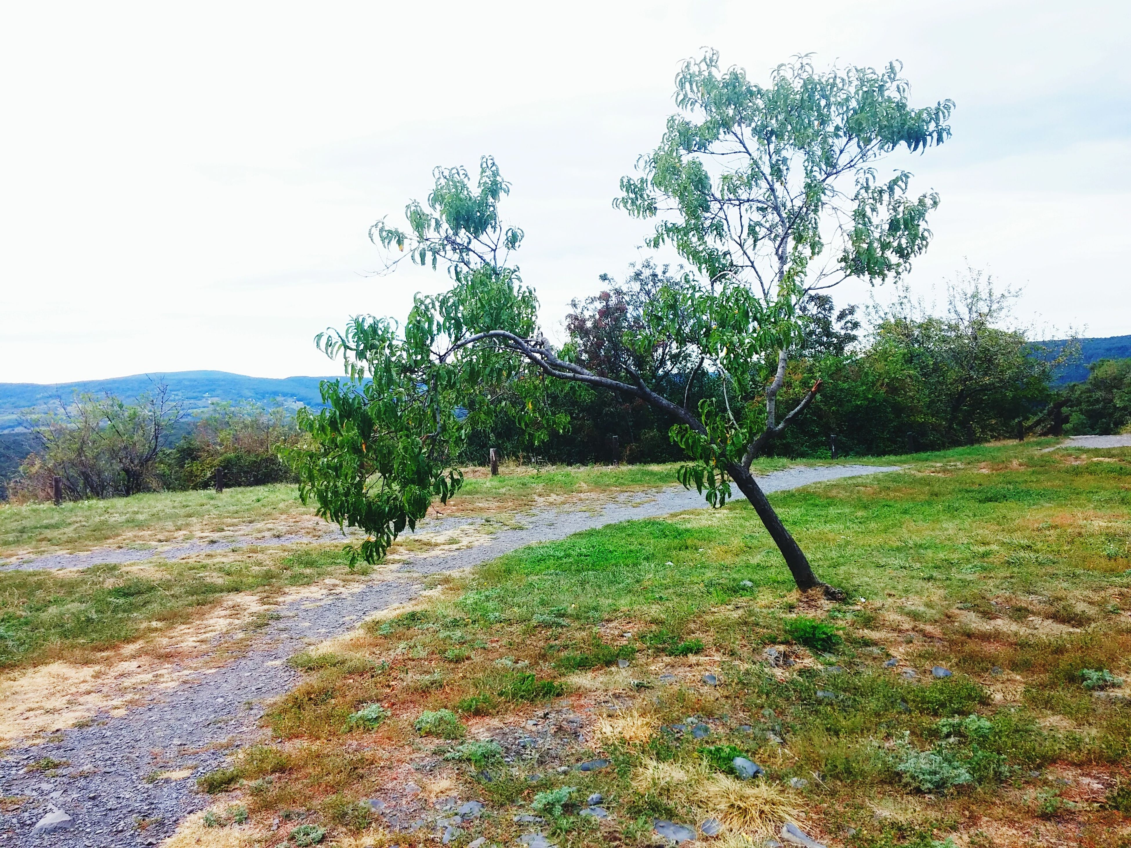 tree, tranquil scene, tranquility, scenics, clear sky, growth, landscape, field, nature, beauty in nature, tree trunk, green color, mountain, sky, non-urban scene, branch, agriculture, remote, day, outdoors, rural scene, solitude, farm, no people, countryside, mountain range, grassy