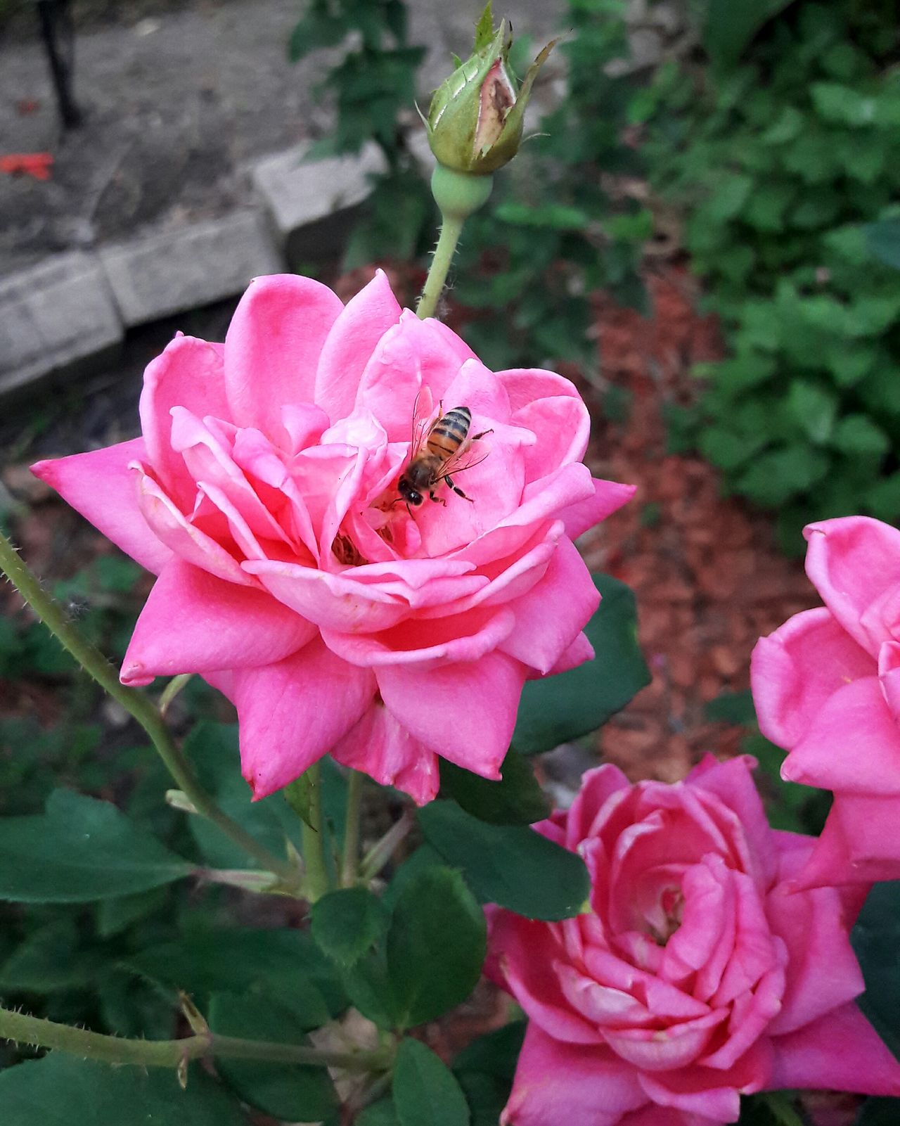 Flower Pink Color Petal Plant Nature Fragility One Animal Insect Beauty In Nature No People Growth Flower Head Outdoors Close-up Day Animal Themes Freshness Animals In The Wild Animal Wildlife HoneyBee Popular Photos EyeEm Nature Lover Roses In My Neighborhood